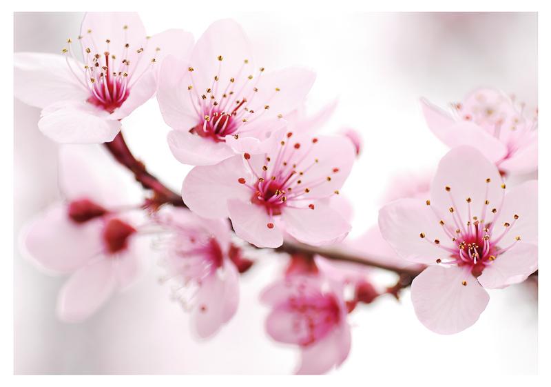 Днем, открытка с цветами сакуры