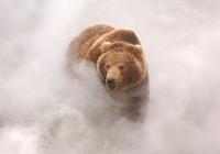 Медведь в Долине гейзеров. Кроноцкий заповедник