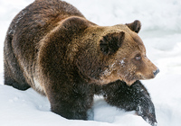 Бурый медведь в снегу