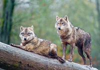 Волки под дождём